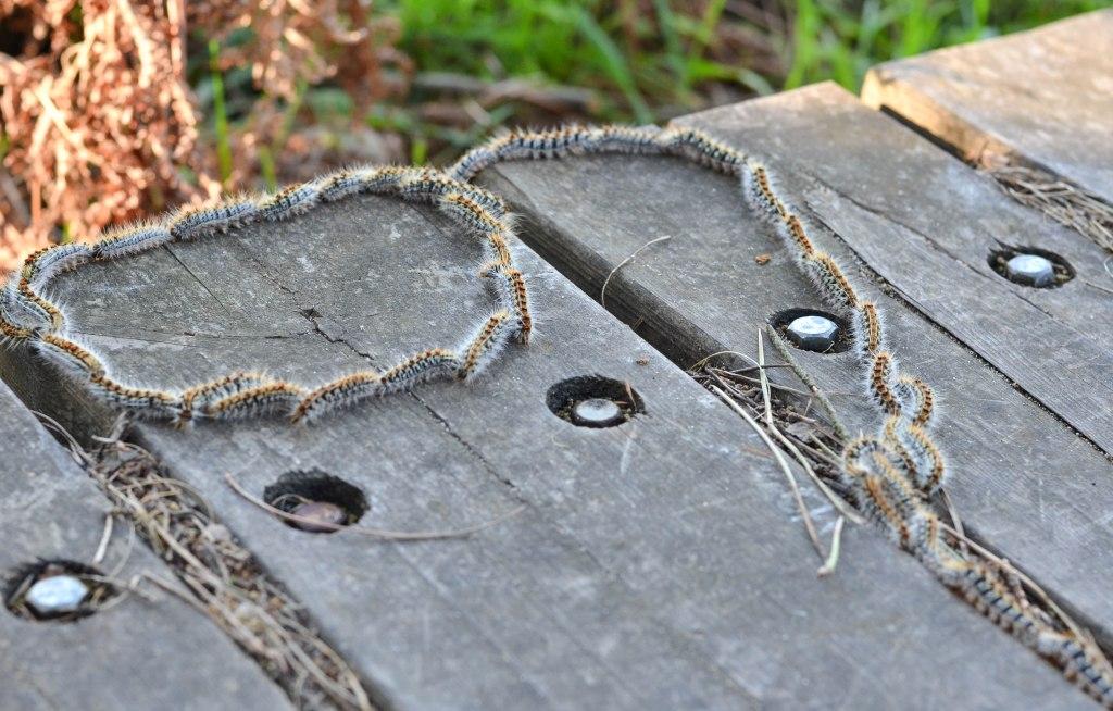 Processional caterpillars