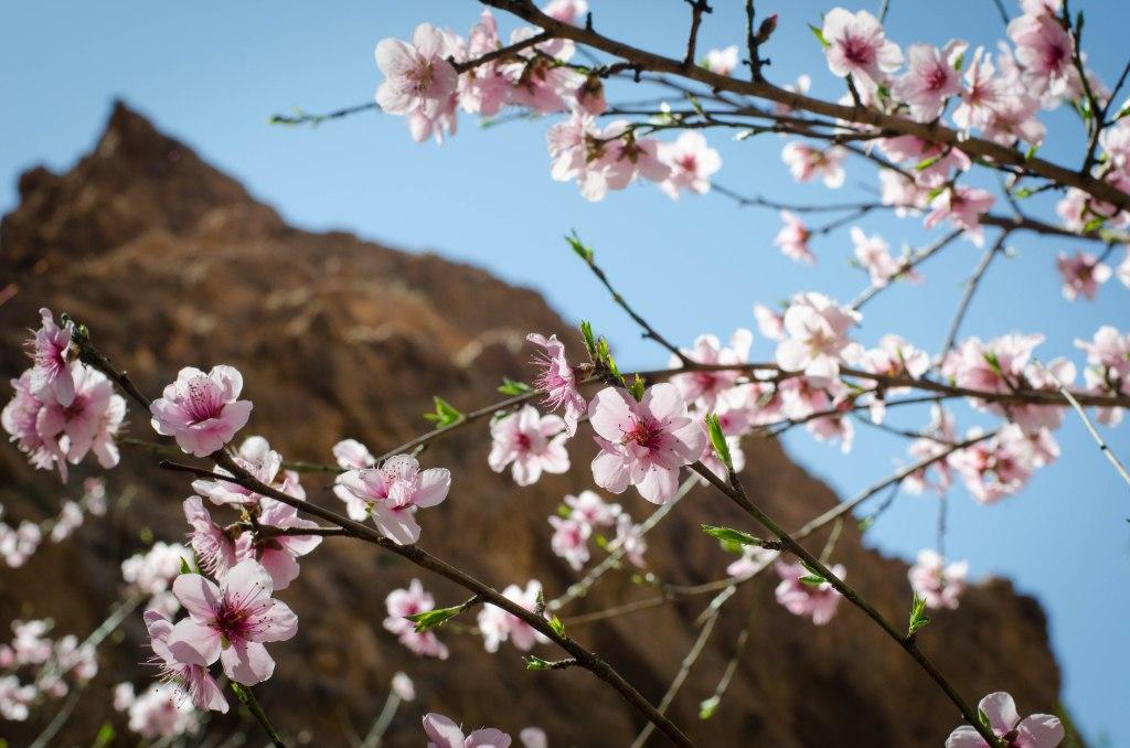 Almond blossom, Todra Gorge